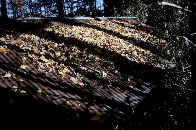 屋根への銀杏の落葉
