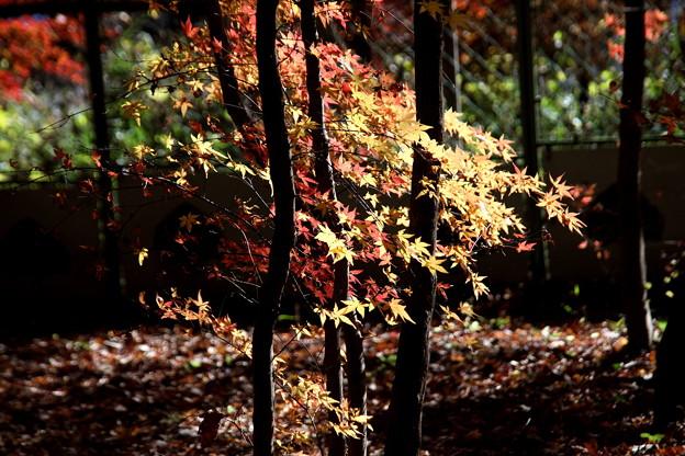 紅葉の風情 平林寺