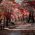 Photos: 平林寺のモミジ林の紅葉