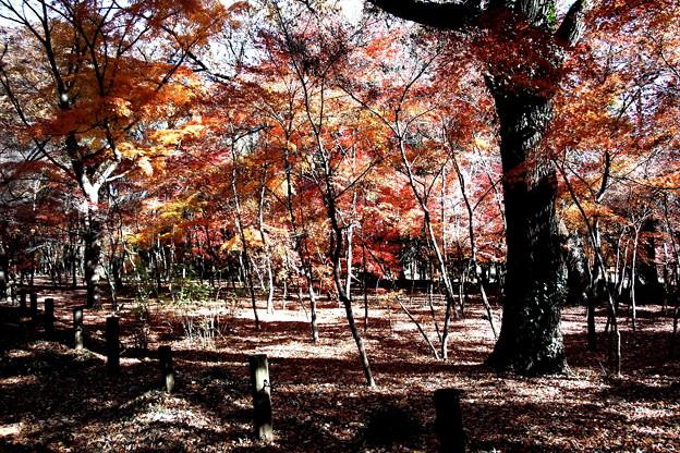 平林寺モミジ林の紅葉