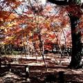 Photos: 平林寺モミジ林の紅葉