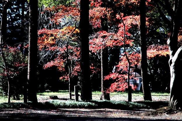 木々の間からの紅葉 平林寺