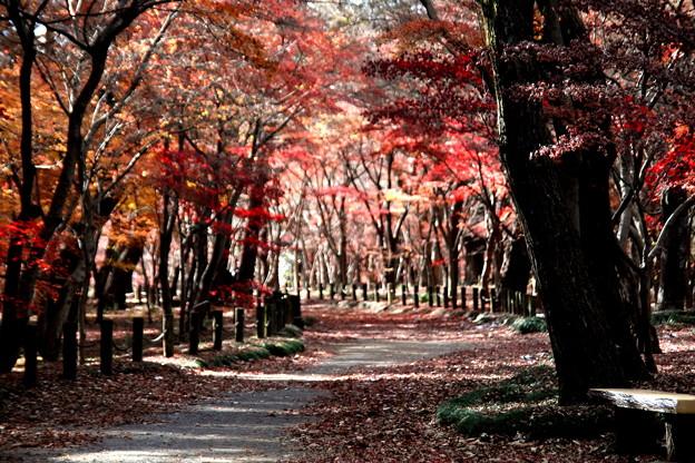 Photos: モミジの紅葉の世界 平林寺