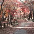 Photos: モミジの紅葉の世界2 平林寺