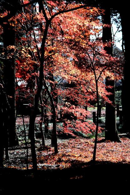 モミジの落葉と紅葉 平林寺