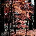 Photos: モミジの落葉と紅葉 平林寺