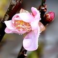 Photos: 梅一輪咲く