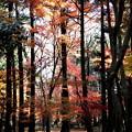 Photos: 紅葉したモミジの木