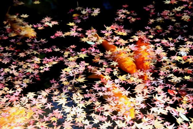 モミジの落葉と錦鯉3