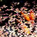Photos: モミジの落葉と錦鯉3