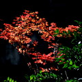 Photos: 秋の名残発見 モミジの紅葉