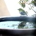 Photos: 水場のメジロ