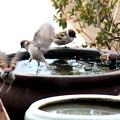 Photos: 雀の水浴び