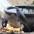 Photos: リンゴの皮を啄むヒヨドリ