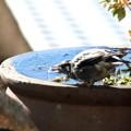 Photos: 水を飲むムクドリ