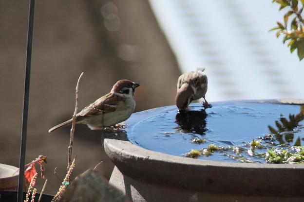 水を飲む雀