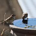 Photos: 水を飲む雀