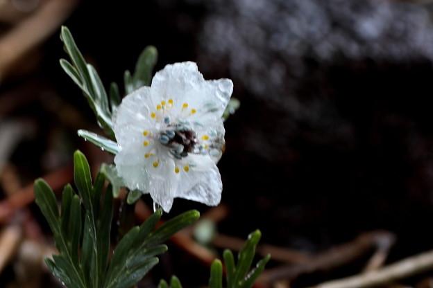 自宅で咲いている節分草