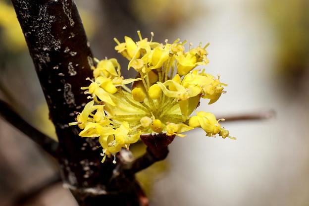 Photos: サンシュウユの開花