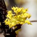 サンシュウユの開花