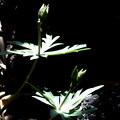 Photos: 節分草の種子