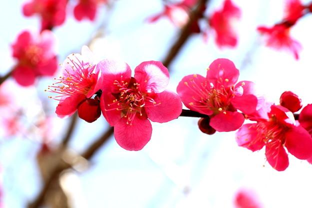 植木の梅のい紅梅開花中