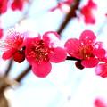Photos: 植木の梅のい紅梅開花中