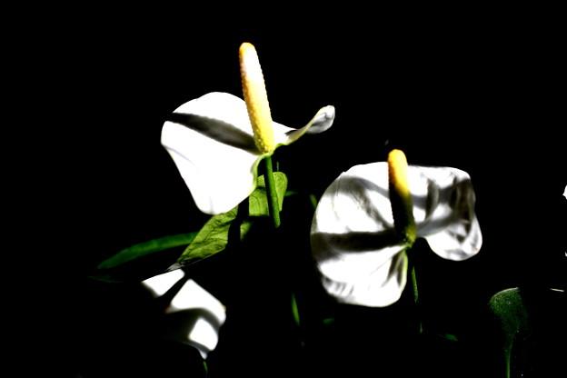 白色のアンスリューム