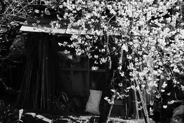 写真: 櫻
