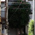 Photos: トチノキ