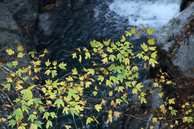 別子10-黄葉