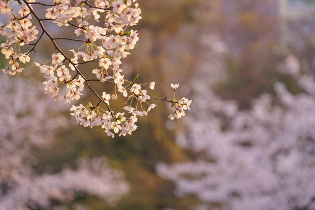 正調 桜切り取りw