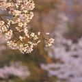 Photos: 正調 桜切り取りw