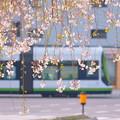 Photos: すだれ桜