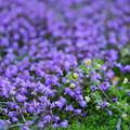 Photos: 紫と黄