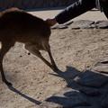 Photos: いやがる小鹿w