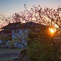 Photos: 庭の柿の木