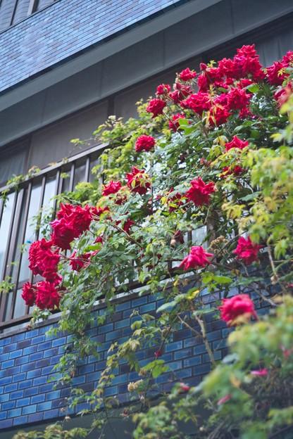 Photos: バラ(2)青い外壁