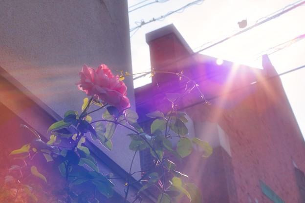薔薇と遺構2