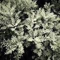 Photos: 白い葉