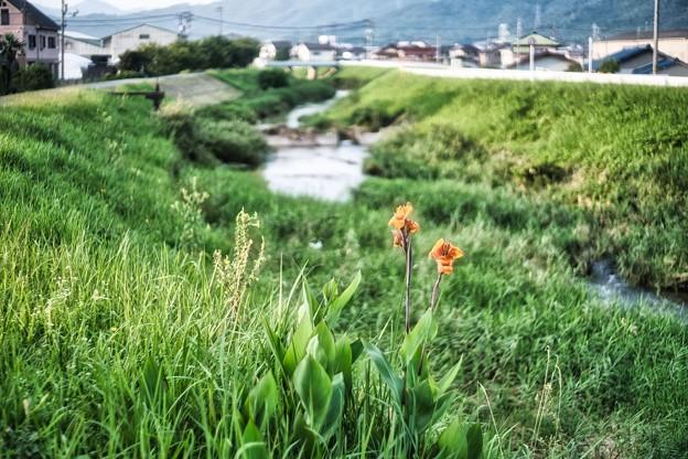 橙色のカンナ