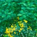 Photos: 黄の花