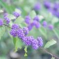 Photos: 雨と紫