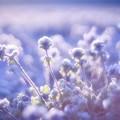 Photos: 霜化粧