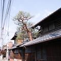 Photos: 安芸津35 赤松