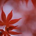 写真: 春紅葉 ~燃ゆ~