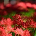 写真: 巾着田の曼珠沙華 DSC_9260.01