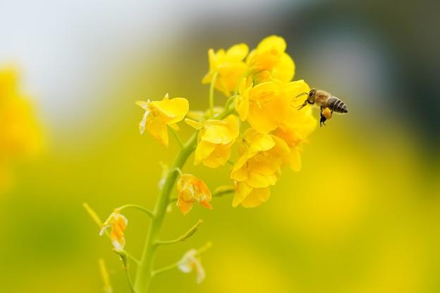 菜の花とミツバチ (2)
