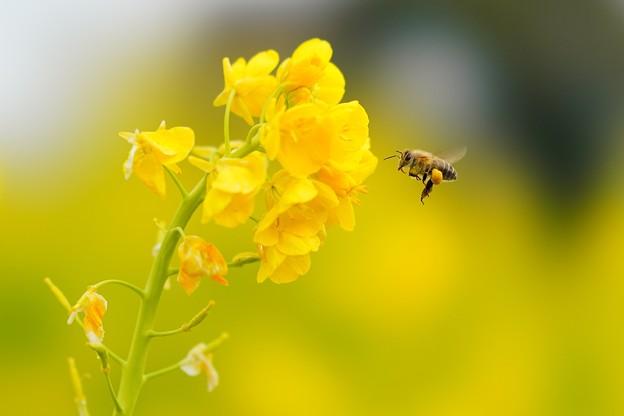 菜の花とミツバチ (1)