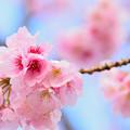 熱海の寒桜2